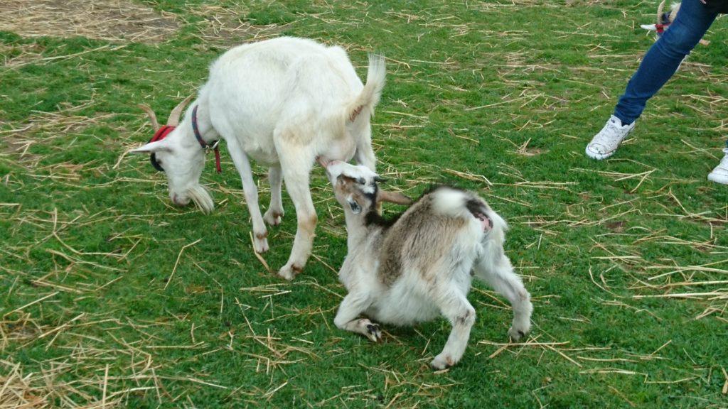 ヤギの授乳