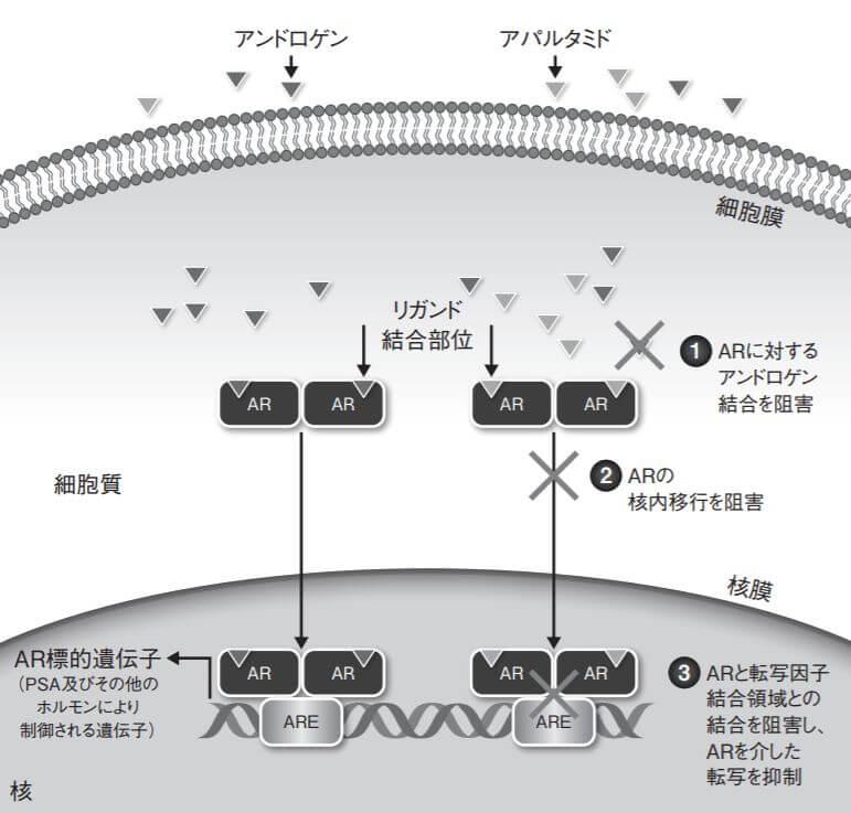 アパルタミドの作用機序