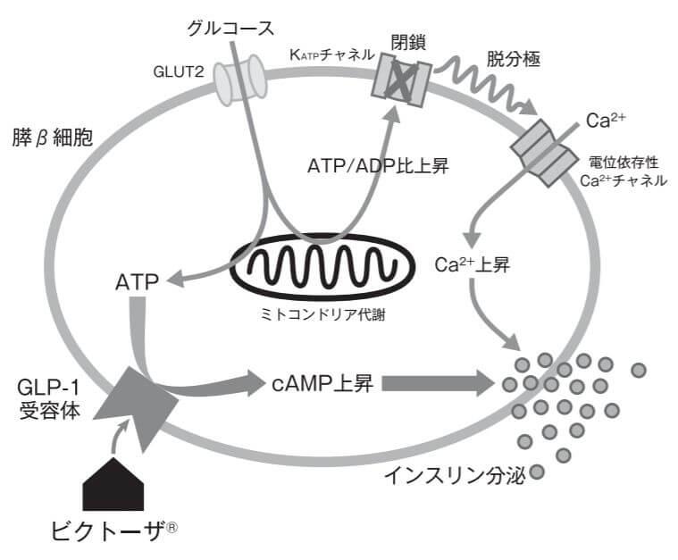 リラグルチドの作用機序